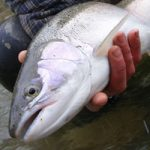 bayfield-river-ontario-steelhead