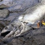 Dead salmon bronte creek